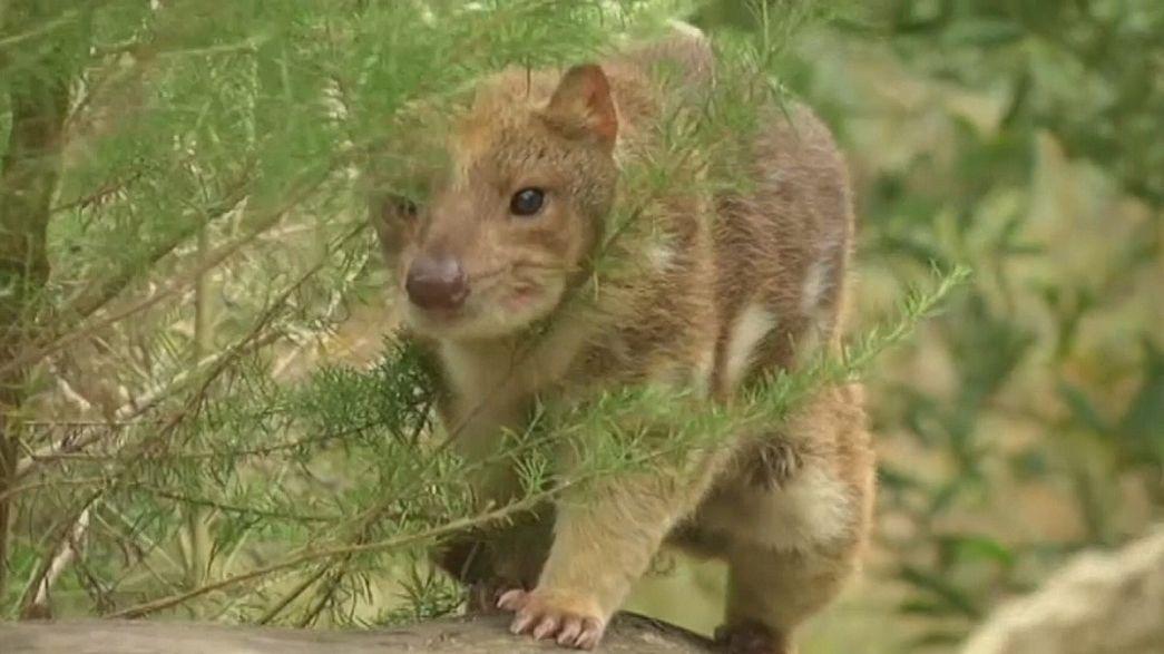 Protegiendo a los cuoles del Parque Nacional Gran Otway en Australia