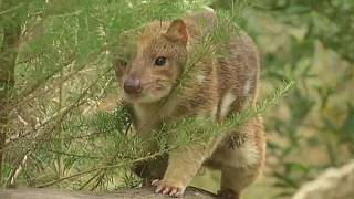 Spotted quoll latest exotic Australian animal facing threat of extinction