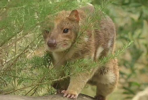 Der Quoll, eine australische Tierart in Gefahr