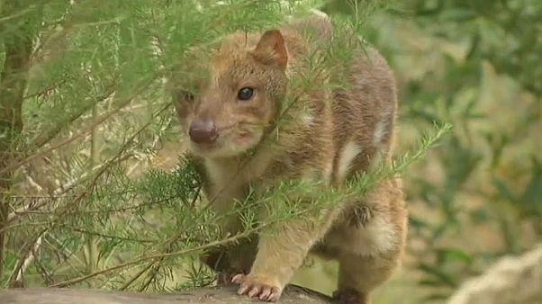 «کیسه دار» کوچک استرالیا در خطر انقراض