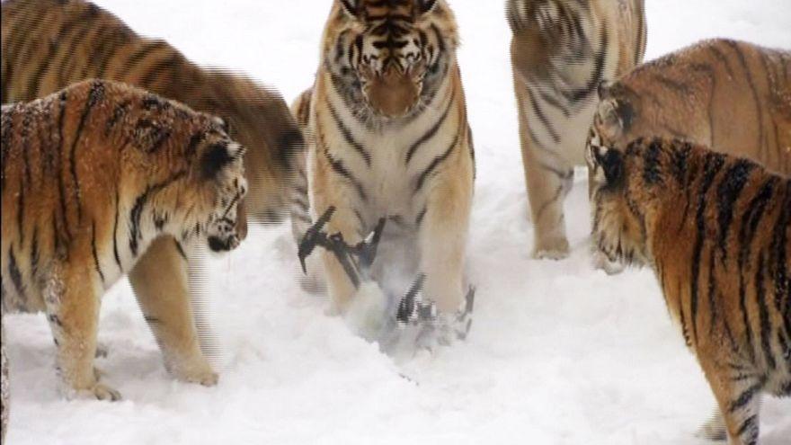 VIDEO: 2 bis 3 Jahre alte Sibirische Tiger spielen mit Drohne