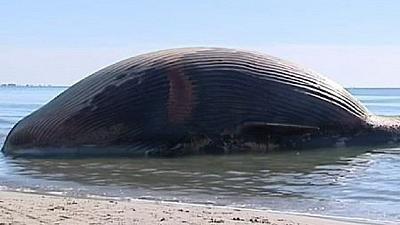 Côte d'Ivoire : une baleine de 12 mètres sans vie découverte sur une plage