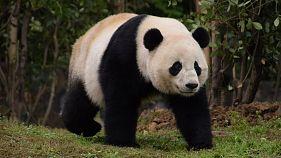 US-born panda Bao Bao arrives at new home in China