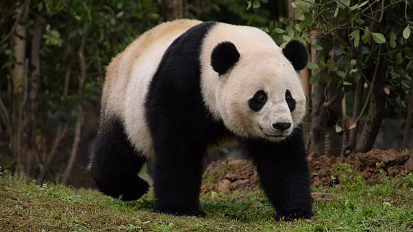 Panda-Dame nach 17-stündigem Flug in China