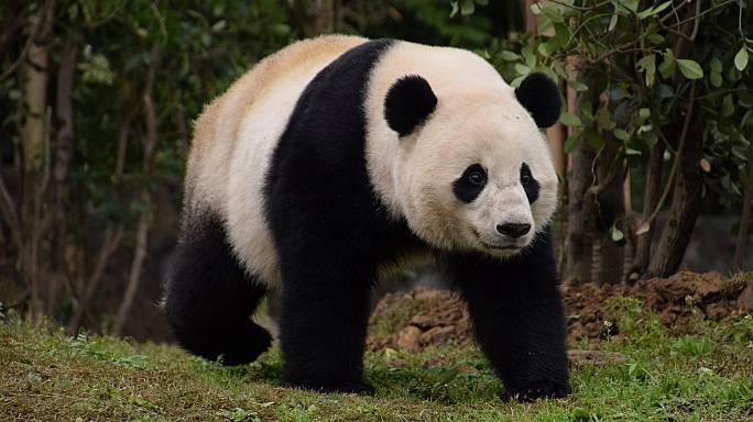 US-born panda Bao Bao arrives at new home in China