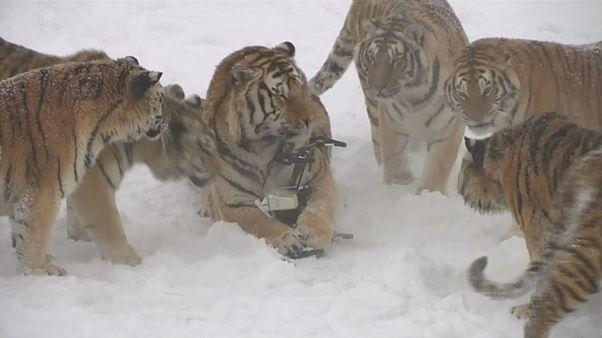 Κίνα: Τίγρεις κυνηγούν drone