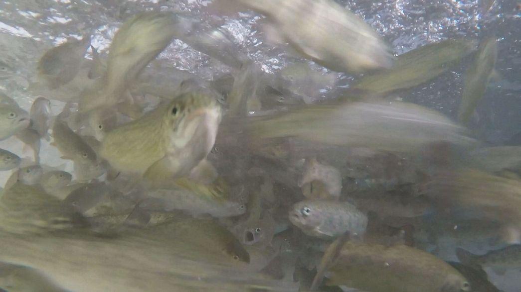 Acquacultura: la nuova dieta 'vegetariana' dei pesci d'allevamento