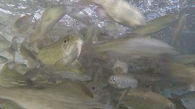 Des poissons d'élevages, bientôt nourris sans poisson?