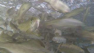Ragadozó halak vega koszton