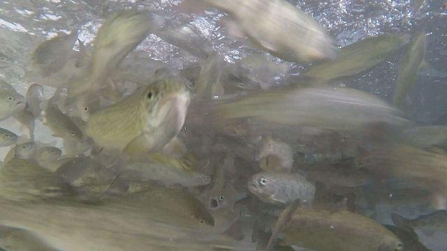 Os peixes de viveiro estão a ficar vegetarianos