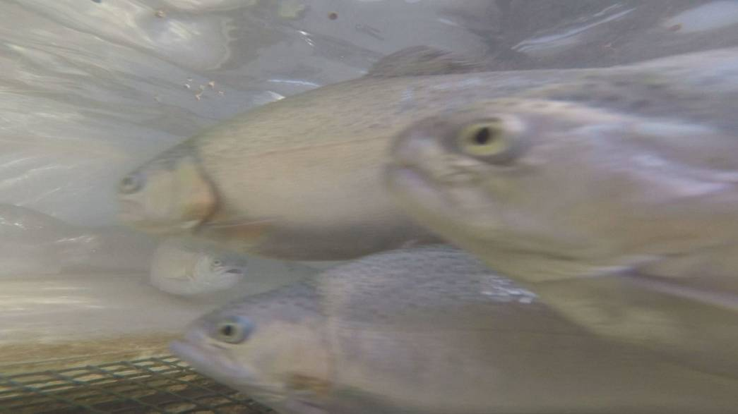 Takeaway: Farm fish go vegetarian
