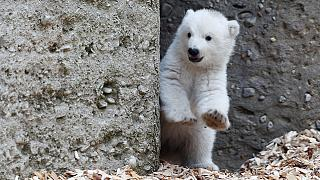Baby polar bear takes her first steps outside