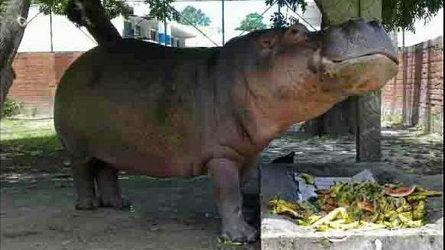 Indignación en El Salvador tras la paliza mortal al hipopótamo Gustavito