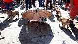 كلب البلدغ الإنكليزي يغزو مكسيكو