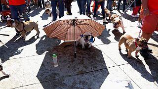 1000 bulldog vonult végig Mexikóváros utcáin