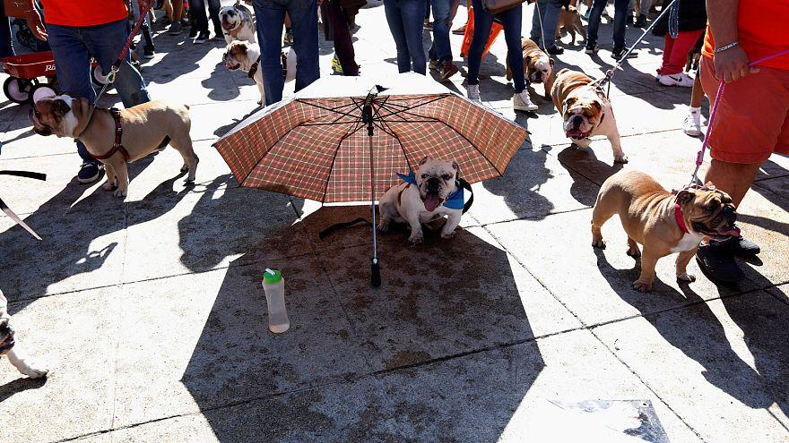 Rekordversuch mit hunderten Bulldoggen in Mexiko-Stadt