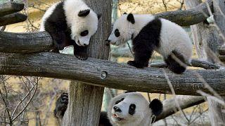Cachorros de osos panda juegan en el zoo de Viena