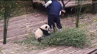 VIDEO: Der kleine Panda, der das Bein seines Betreuers nicht loslassen will