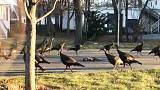 Turkeys encircling dead cat baffles internet