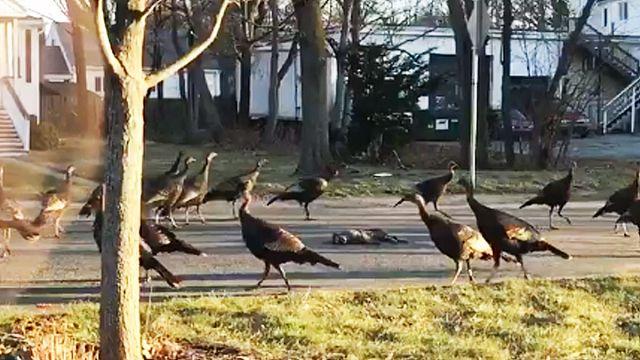 Turkeys encircling dead cat baffles internet