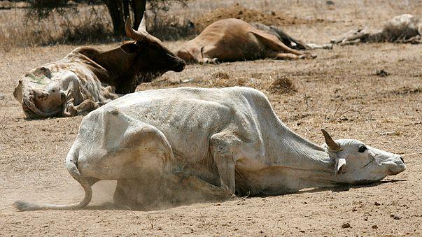ООН призывает помочь страдающей от засухи Кении