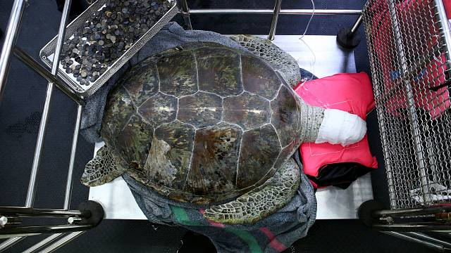 Watch: Thai vets remove nearly 1,000 coins from turtle