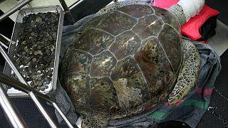 Une tortue opérée en Thaïlande après avoir ingurgité 5 kilos de pièces de monnaie