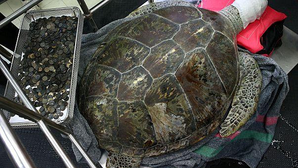 Thailand: Ärzte operieren Schildkröte mit fast 1000 Münzen im Magen