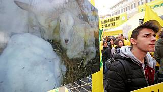 Italian farmers use sheep to protest