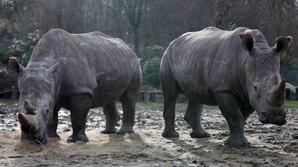 Fransa'da hayvanat bahçesindeki gergedanı boynuzu için katlettiler