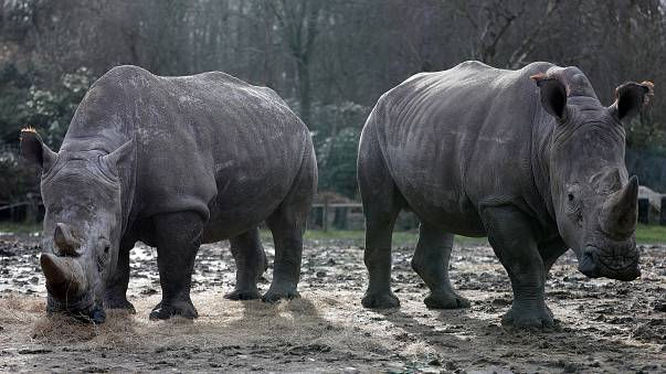 Браконьеры убили носорога в зоопарке во Франции