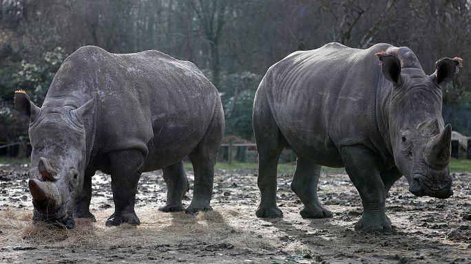 Un grupo de furtivos mata a un rinoceronte en un zoo francés por su cuerno