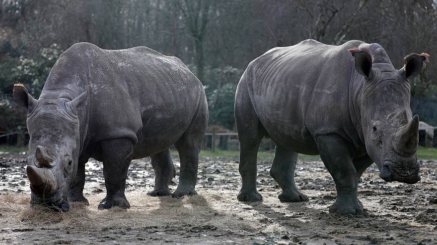 قتل وحيد قرن أبيض نادر في حديقة حيوان بفرنسا