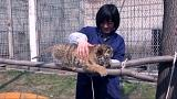 "Tiger cubs ""adopted"""