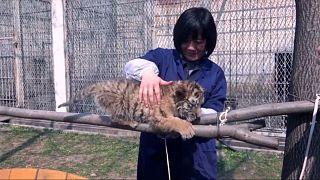 Tigriskölykök végveszélyben