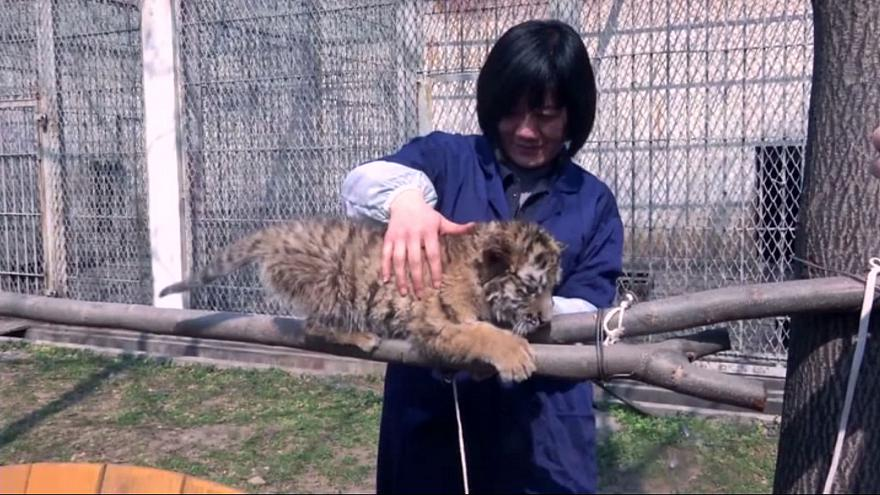 """Tiger cubs """"adopted"""""""