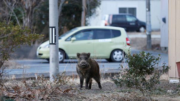 خنازير برية تحتل شوارع فوكوشيما