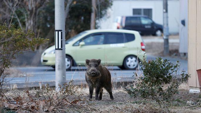 Wildschweinplage in Fukushima