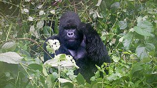 Un vaccin pour protéger les primates contre Ebola trouvé
