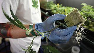 La Zambie autorise la culture du cannabis à des fins médicales