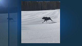 Elch gegen Snowboarderin: Wer ist schneller?