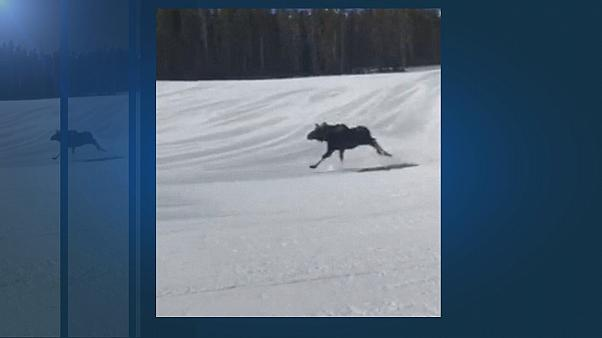 Loose moose surprises snowboarders