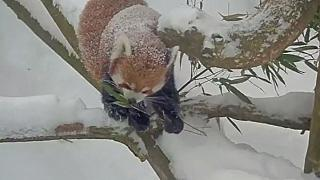Red pandas play in the snow