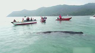 Gerettetem Pottwal wird zurück ins Meer geholfen