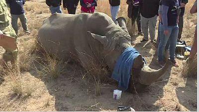 Afrique du Sud: Un projet lancé pour sauver les rhinocéros