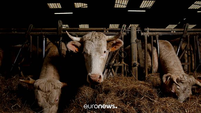 Turkey-Netherlands spat continues as Dutch cows sent back