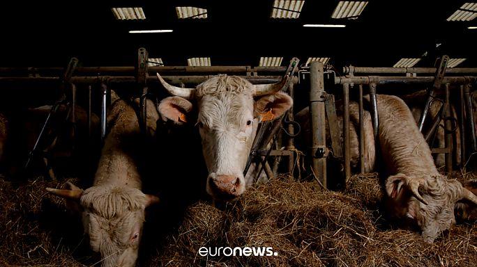Η Τουρκία «απελαύνει» αγελάδες από την Ολλανδία!
