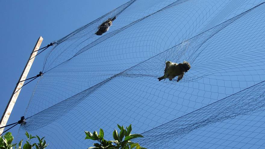 How millions of songbirds are being illegally slaughtered to supply Cypriot restaurants