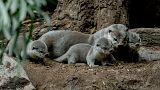 Siete cachorros de nutria nacen en el zoológico de Praga