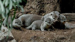 Nascem sete lontras bebés no Jardim Zoológico de Praga